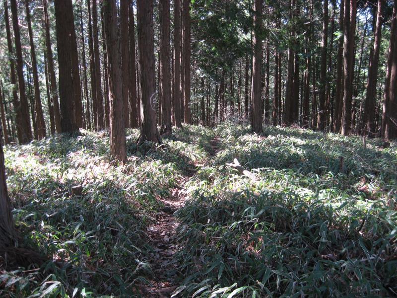 千足尾根の笹が生い茂る下山路