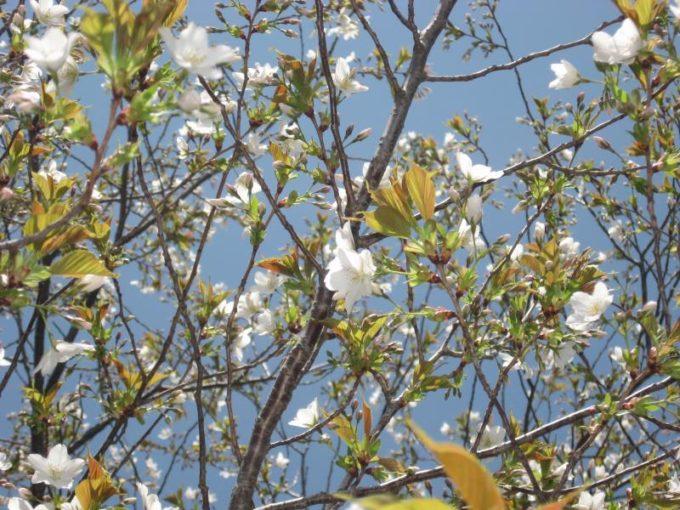 棒の折山山頂にある白い花びらの桜