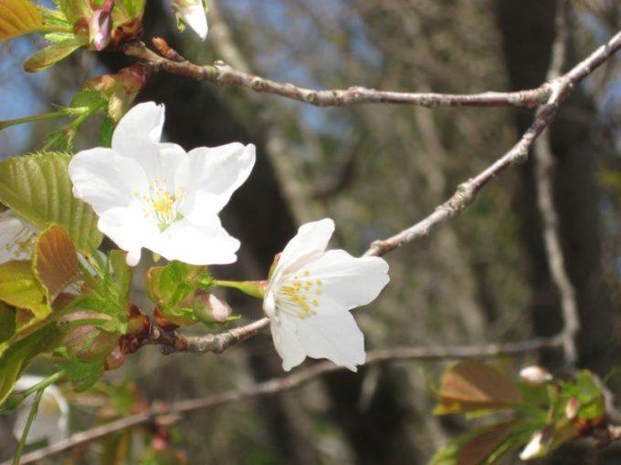白い花びらの山桜