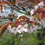 日の出山山頂の山桜(撮影:4月30日)