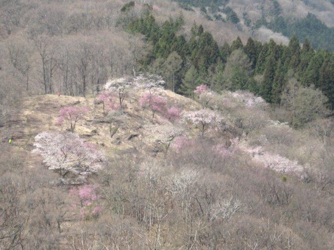 浅間嶺山頂の桜(撮影:4月20日)