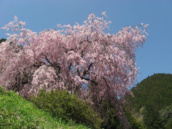 みごとな枝垂桜(撮影:4月20日)