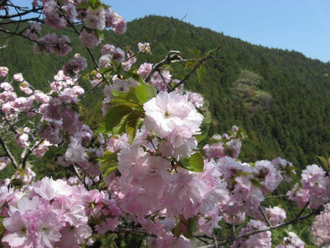 八重桜(撮影:4月20日)