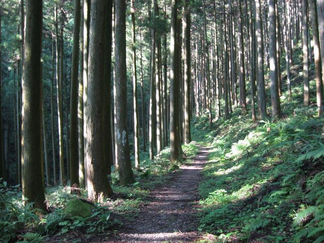 植林帯の中の登山道(なだらかな歩きやすい道)
