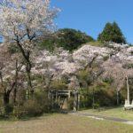 神社階段下の満開の桜(4月13日撮影)