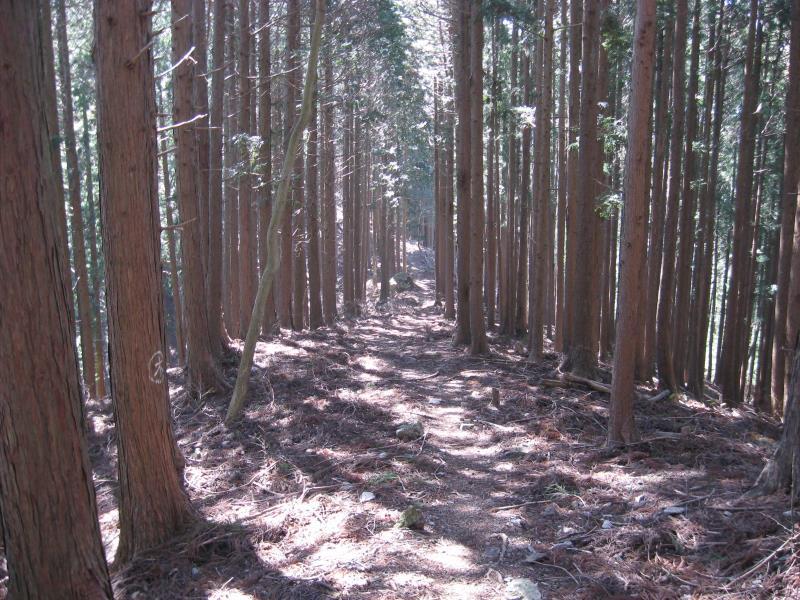 つづら岩から鶴脚山への尾根道にある植林地帯