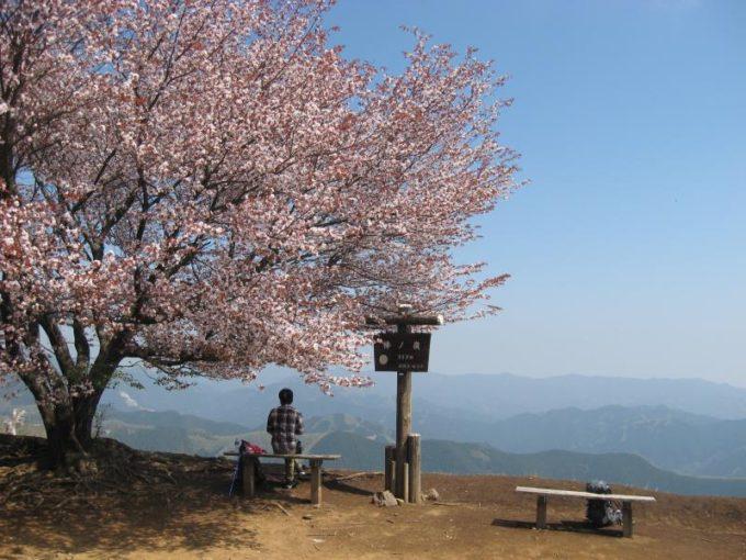 棒の折山山頂の桜