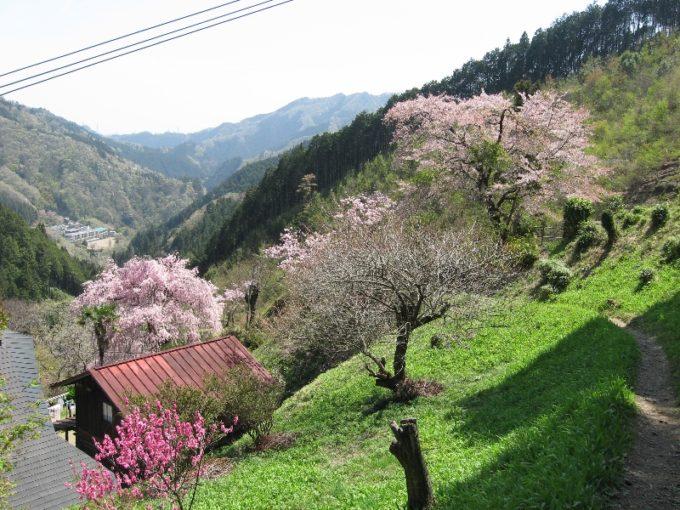 登山道沿いに咲く桜(撮影:4月20日)