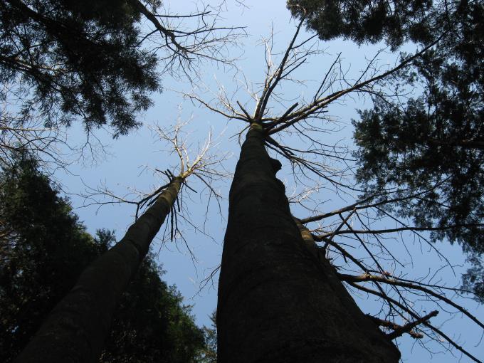 ホオノキの樹形