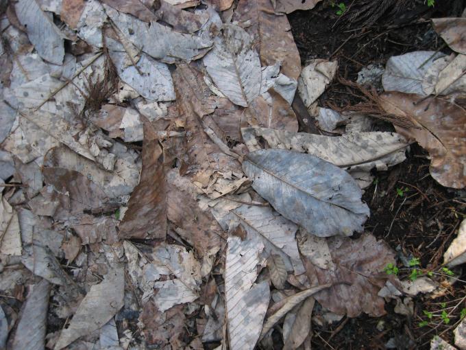 ホオノキの落葉