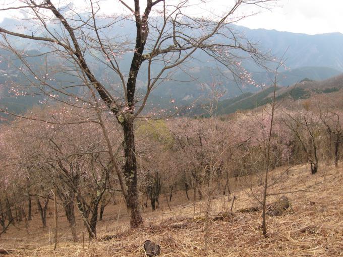 展望台の斜面に植えられた桜