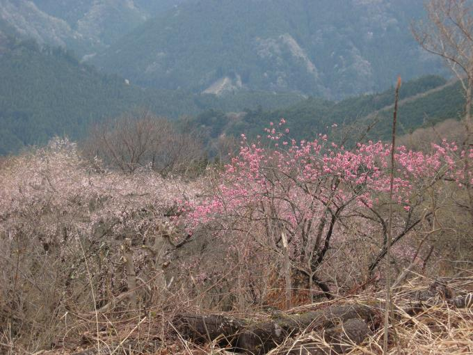 展望台の桜
