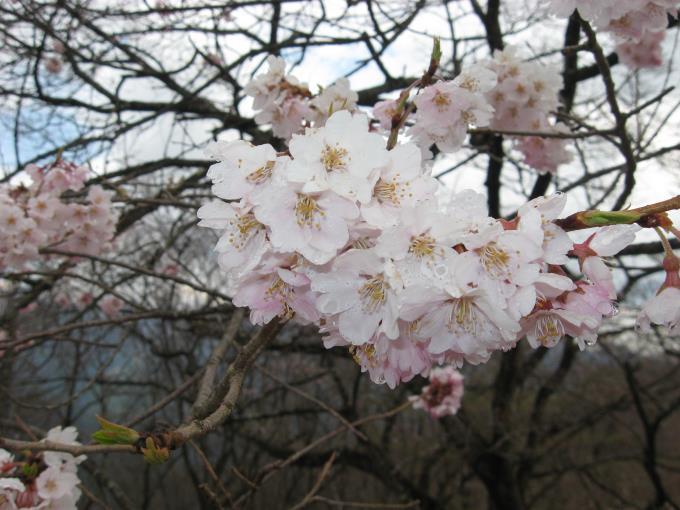 松生山への登山道にある桜