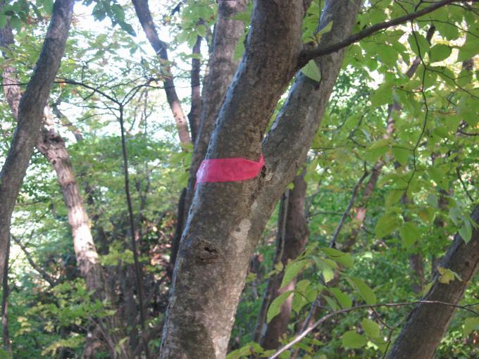 木に付けられたピンクのテープ