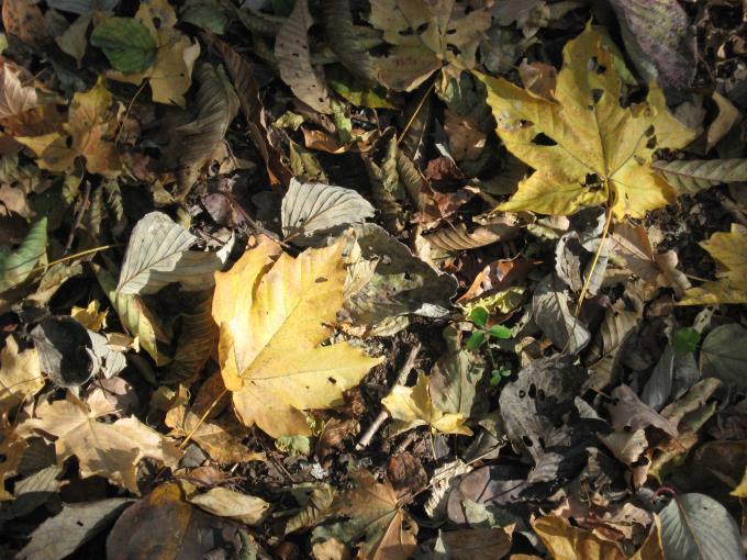 紅葉した落葉