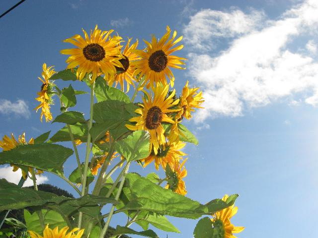 乾徳山登山口に咲くひまわりの花