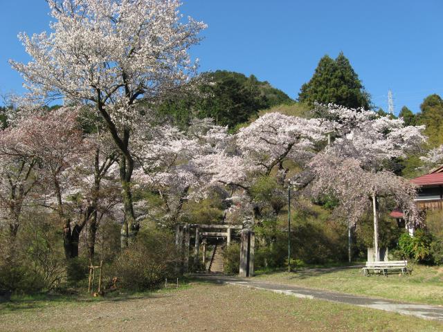 愛宕神社の桜が満開