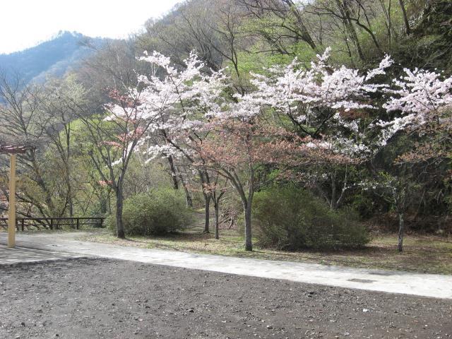 登山口にある公園内にも桜の木がたくさん植えられています。