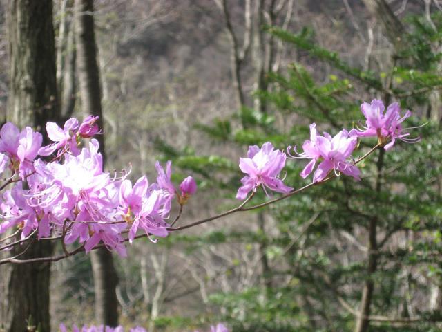 山の中にひっそりと咲くつつじの花