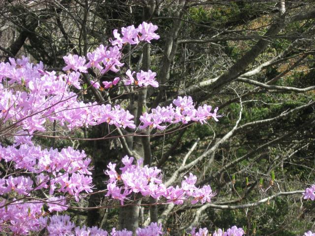 登山道沿いにはつつじの花が咲いている