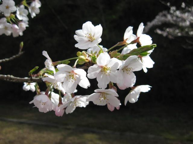 奥多摩湖畔の桜