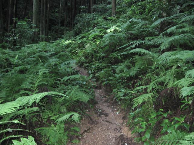 シダの葉が生い茂る登山道